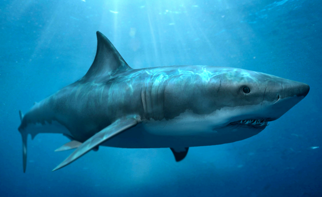 Shark animal digestion ccuart Image collections
